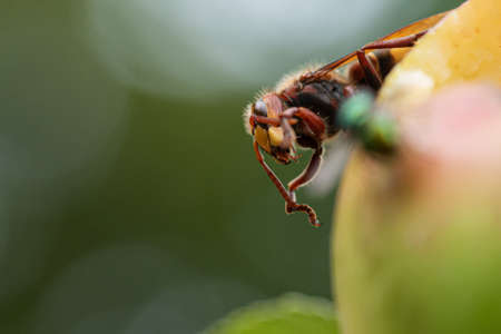 Closeup macro view of a hornet on a ripening apple outside in wildlife.