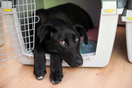 Beautiful black shepherd dog with cute eyes lying in her crate sticking her front paws and head out.