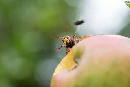 Macro shot of a hornet on a ripening apple with a fly flying by.