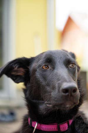 Portrait of a beautiful black shepherd dog.