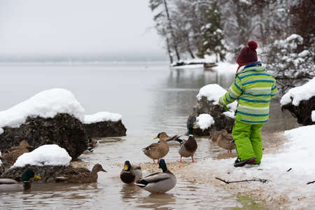 Toddler child in green winter suit feeding the ducks in a lake in snow covered nature. Imagens