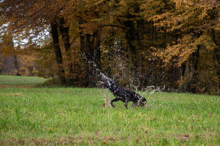 Black dog enjoying a jump in a puddle in beautiful green meadow splashing the rainwater all around.