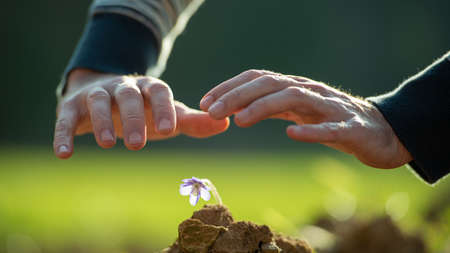 Male hands in a protective gesture above a delicate purple flower growing out of soil.