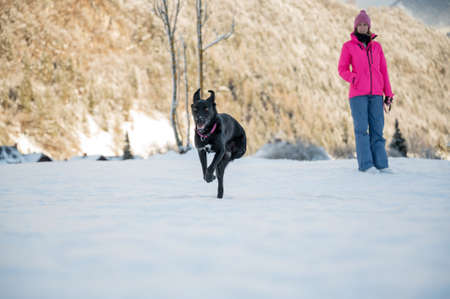 Beautiful black shepherd dog with three paws running towards the camera in a snowy winter nature with her owner in the background.