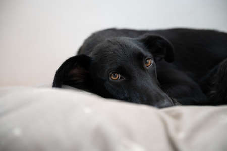 Low angle view of a beautiful black shepherd dog lying in her bed.