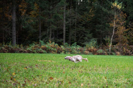 Dog running fast in a green meadow by the forest.