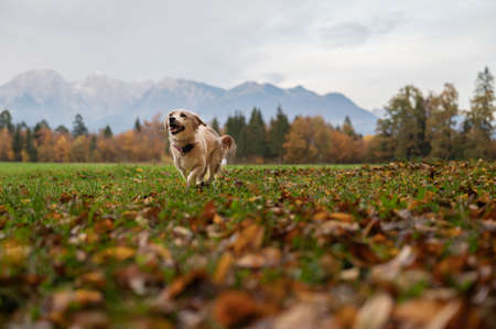 Low angle view of a cute little dog running in beautiful autumn meadow.