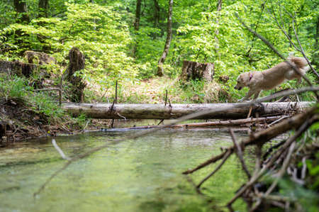 Cute small dog running on a tree trunk across a beautiful creek of clear water.