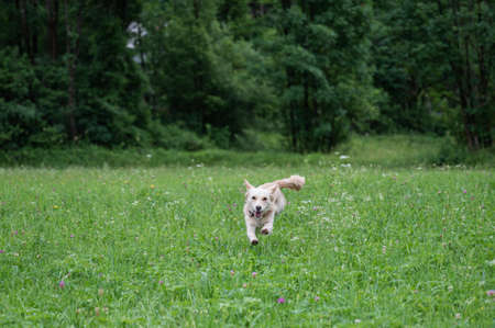 Happy cute little brown dog running on a beautiful green meadow towards the camera Archivio Fotografico
