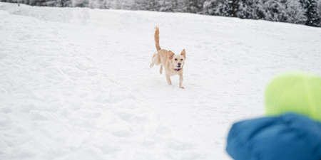 Cute small brown dog running outside in the snow. 免版税图像