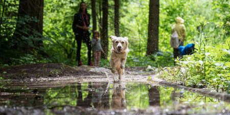 Small cute happy dog with a happy face running through a puddle towards the camera, with her owners in background.
