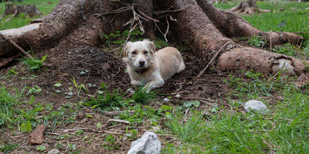 Cute small dog lying and resting in a dirt close to a big tree trunk outside in green nature.