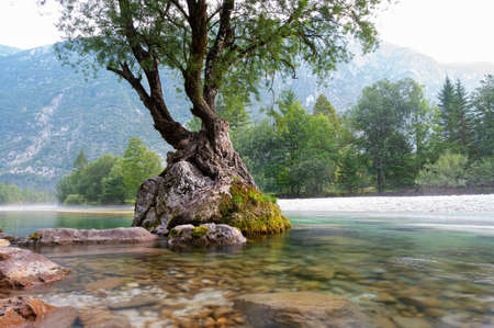 Unbelievable force of nature - tree growing on a rock in the middle of beautiful Soca river, Slovenia. 免版税图像