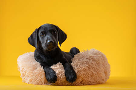 Studio shot of cute small black labrador retriever puppy lying in her furry bed. Over yellow background. 免版税图像