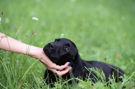Beautiful black labrador puppy leaning her head on her owners hand while lying in green meadow.