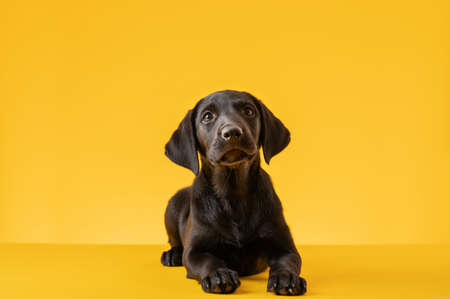 Studio shot of a cute black lab puppy on a yellow background.