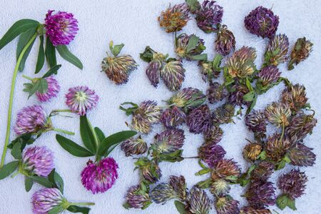 Fresh red clover for drying and dry clover on a neutral gray background.