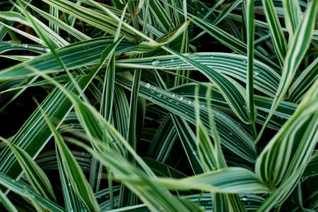 textural: Sedge green grass close-up. Textural green background Stock Photo
