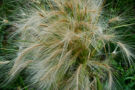 fluffy ornamental grass with spikelets closely, flora Stock Photo