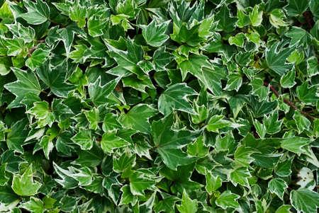 dense: Botanic plant Green ivy dense close texture