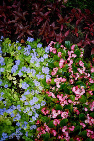 groundcover: The texture of groundcover plants and flowers. Blue and pink flowers and green leaves