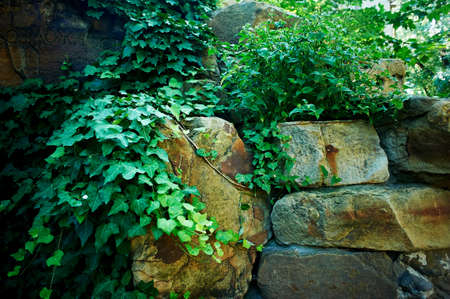 Ivy winds through the old masonry. old garden
