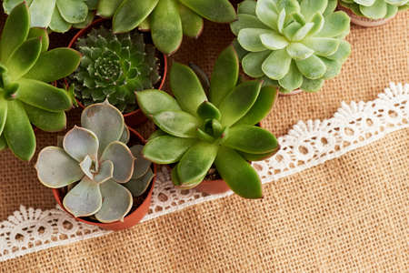Arrangement of various succulents on a background of burlap, treated lace