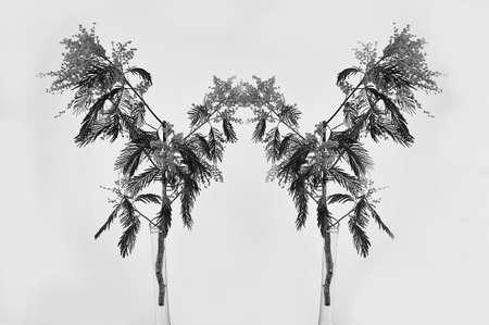 Mimosa su uno sfondo bianco. Immagine astratta.