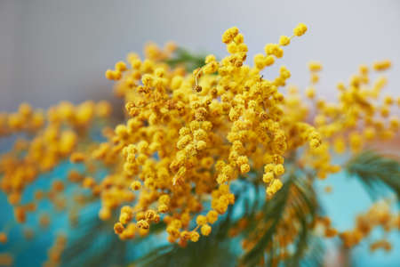 mimose: Mimosa, a symbol of womens day and the awakening of spring. On turquoise Archivio Fotografico