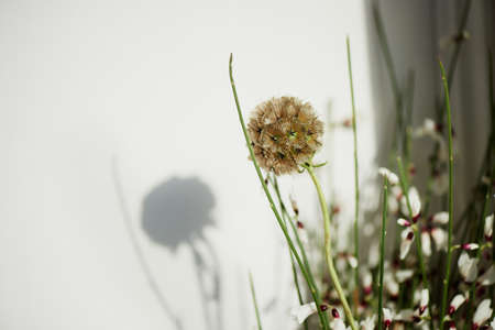 siamensis: Scabious in the form of spines. Macro photography on a neutral light background.