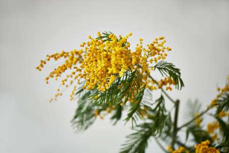 Mimosa, simbolo della giornata delle donne e il risveglio della natura dopo l'inverno. Su sfondo bianco Archivio Fotografico