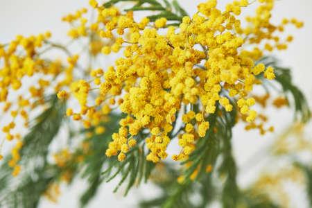 Mimosa, un simbolo del giorno delle donne e il risveglio della natura dopo l'inverno. Su sfondo bianco