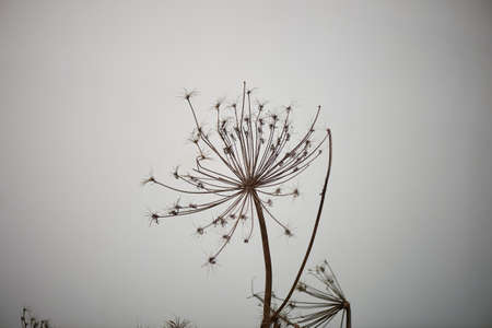 cow parsnip on a neutral background. The dried flowers. Dangerous poisonous plant Standard-Bild