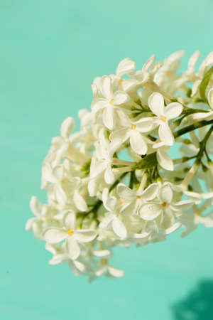 White lilac on a turquoise background. Purity and innocence