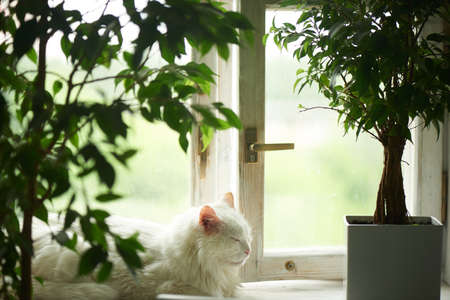 White cat sleeping on the windowsill by the window. Next to the tubs with green plants. Relax