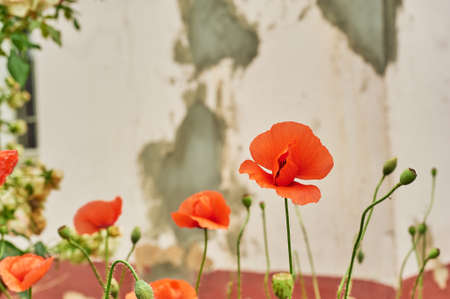 Flowers of poppies against the concrete wall. Village house, paliscan. Gardening. Standard-Bild