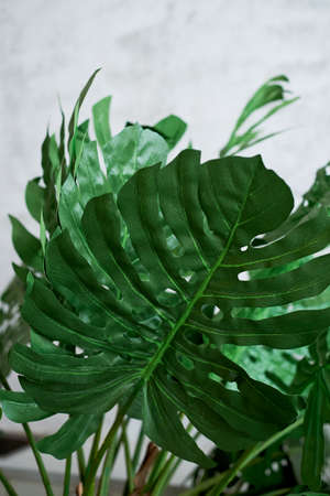 The leaves of the monsters on a gray background. Minimalism, background image