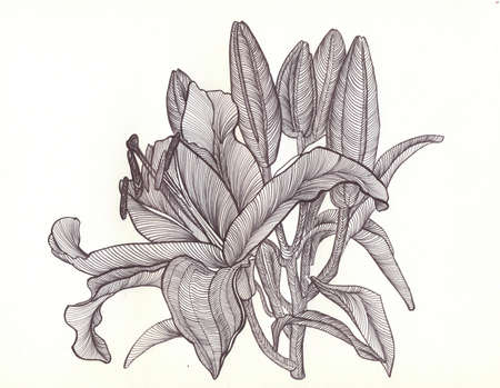 blooms: lily blooms with petals , flower , drawn with black pen , bright