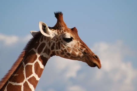 girafe: The reticulated girafe has very clearly definded edges between its markings.  Stock Photo