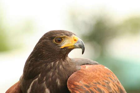 Harris Hawk Profile photo