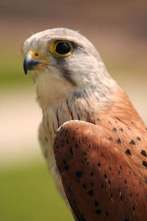 possibly: side profile of a kestrel (possibly the male)