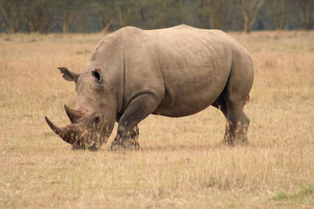 ponderous: White Rhinos are grazing animals and are less aggressive than their cousins. They are still dangerous though. Stock Photo