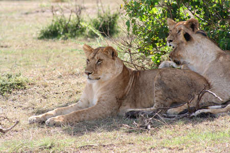 knew: three young lionesss resting after a chase - who knew lions had spots?