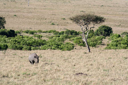ponderous: Black rhino on the move after spotting us