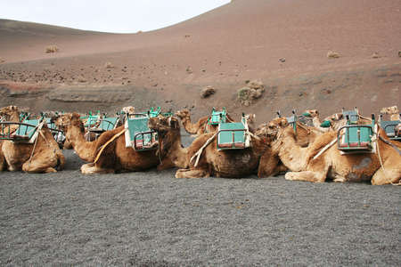 Camels all saddled and muzzled, waiting for their turn to take some tourists up the side of a volcano in the Timanfaya National Park, Lanzarote. 版權商用圖片