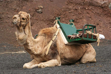 saddle camel: camel saddled and muzzled, ready to give rides to tourists in Timanfaya National Park, Lanzarote Stock Photo