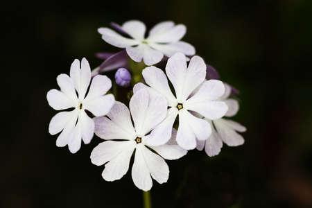 Pale lilac and creamy white multi blossom head of a candleabra primrose photo