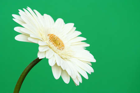 floristry: Sideways view of a lovely fresh white gerbera daisy on a plain green background. Stock Photo