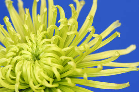 A true macro image showing the heart of an intricate lime green spider chrysanthemum on a mid blue, plain background. photo