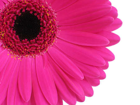bright pink gerbera (or Cape Daisy) focus is on petals photo